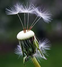 DANDELION MEMORIES - SEEDS REMAINING