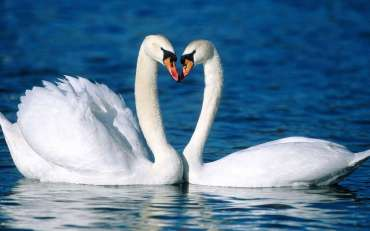 HAIKU - SWANS ON A LAKE