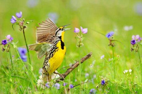 YELLOW BIRD SINGING
