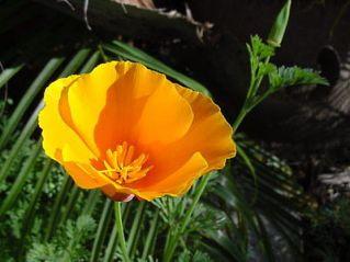 MY WILDFLOWER - CALIFORNIA POPPY