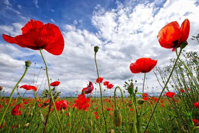 poppy-2989645__480.jpg