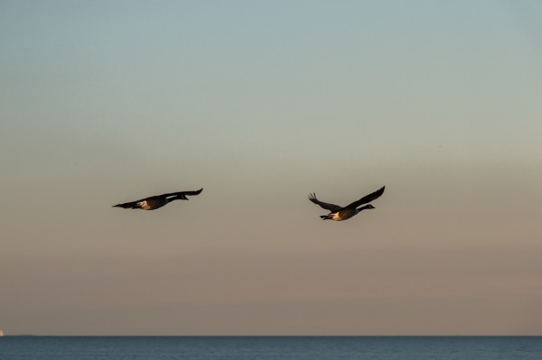 geese-2809000_1280