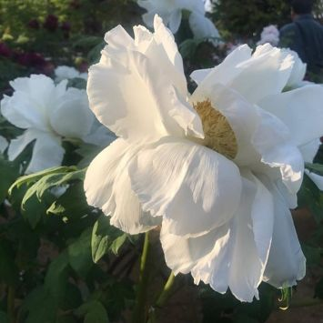 Image result for paintings of dying gardenias