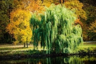 FALL WEEPING WILLOW
