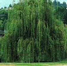 THE SADEST TREE - WEEPING WILLOW