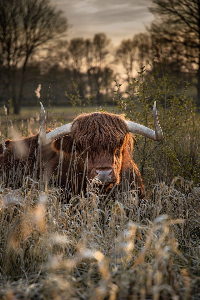 three line tales, week 256: a Highland cow in tall grass